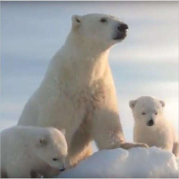 Un video di Gabriele Muccino per salvare gli Orsi Polari